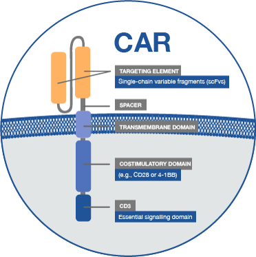 Chimeric antigen receptors (CARs) are synthetic designer molecules that are capable of redirecting the specificity of T cells to potently eliminate tumour cells. We have now developed a novel and unique CAR approach targeting the SLAMF7 antigen in myeloma and already obtained proof-of-efficacy in comprehensive preclinical testing.